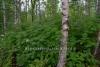 0473_viitapihlaja-angervo_leviaa_luonnossa_miia_korhonen_luontoturva.fi