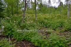 0474_viitapihlaja-angervo_valtaa_metsanpohjaa_miia_korhonen_luontoturva.fi