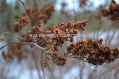 0476_viitapihlaja-angervo_talvella_miia_korhonen_luontoturva.fi