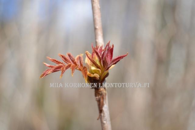 0478_kevat_ja_viitapihlaja-angervo_miia_korhonen_luontoturva.fi