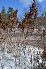 0483_viitapihlaja-angervon_kukinnot_kuivuneina_talvella_miia_korhonen_luontoturva.fi