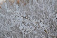 0484_viitapihlaja-angervo_talvella_miia_korhonen_luontoturva.fi