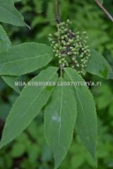 0494_terttuseljan_lehti_ja_marjan_alkuja_miia_korhonen_luontoturva.fi