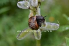 0508_lehtokotilo_syomassa_lupiinia_miia_korhonen_luontoturva.fi