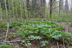 0515__jattiputki_kasvuun_lahdossa_kevaalla_metsassa_miia_korhonen_luontoturva.fi