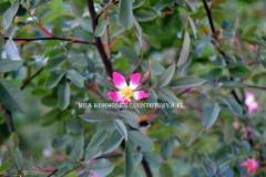 0523_punalehtiruusu_voi_levita_luontoon_miia_korhonen_luontoturva.fi