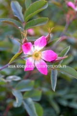 0525__punalehtiruusu_rosa_glauca_on_luontoon_levitessaan_haitallinen_miia_korhonen_luontoturva.fi