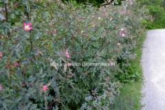 0527_punalehtiruusu_voi_levita_luontoon_ja_aiheuttaa_haittaa_miia_korhonen_luontoturva.fi