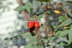 0528_punalehtiruusun_kiulukat_miia_korhonen_luontoturva.fi