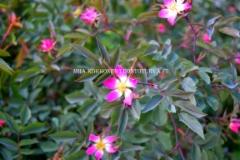 0529_punalehtiruusu_on_kaunis_mutta_luontoon_levitessaan_haitallinen_miia_korhonen_luontoturva.fi