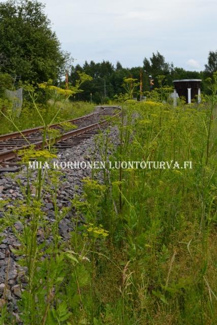 0533_palsternakka_levinneena_junaradan_varrella_miia_korhonen_luontoturva.fi