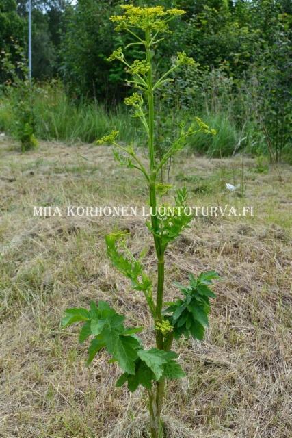 0535_palsternakka_luonnossa_viljelykarkulaisena_miia_korhonen_luontoturva.fi