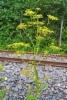 0531_palsternakka_on_viljelykarkulainen_luonnossa_miia_korhonen_luontoturva.fi
