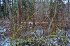0536_kanukat_luontoon_levinneena_miia_korhonen_luontoturva.fi