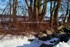 0546_kanukka_voi_levita_saaristoon_lintujen_levittamana_muodostaen_laajoja_ryteikkoja_miia_korhonen_luontoturva.fi