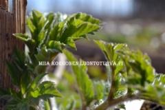 0555_jattiputket_kevaalla_karvaiset_varret_miia_korhonen_luontoturva.fi