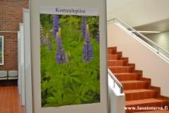 karkolan_kunnantalolla_kuvia_haitallisista_vieraskasveista_26.4_-_11.5.18_luontoturva.fi