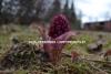 0562_etelanruttojuuri_puutarhajatteesta_luontoon_levineena_miia_korhonen_luontoturva.fi