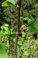 0572_japanintatar_varsi_miia_korhonen_luontoturva.fi