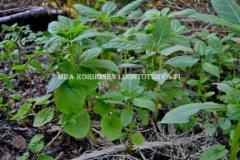 0586_jattipalsami_ja_karhunkoynnos_levinneena_luontoon_miia_korhonen_luontoturva.fi
