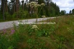 0593_karhunputki_on_luonnonkasvimme_miia_korhonen_luontoturva.fi