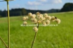0595_karhunputki_on_hyodyllinen_luonnonlajimme_miia_korhonen_luontoturva.fi