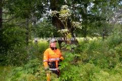 0596_karhunputki_voi_olla_yli_2_m_korkea_luonnonkasvimme_miia_korhonen_luontoturva.fi