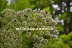 0599_karhunputki_ei_haitallinen_laji_miia_korhonen_luontoturva.fi
