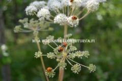 0603_leppakertut_karhunputkella_miia_korhonen_luontoturva.fi