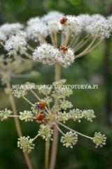 0604_karhunputkella_leppakerttuja_miia_korhonen_luontoturva.fi