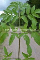 0605_karhunputken_lehti_miia_korhonen_luontoturva.fi