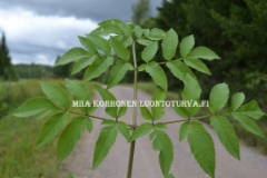 0606_karhunputken_lehti_miia_korhonen_luontoturva.fi