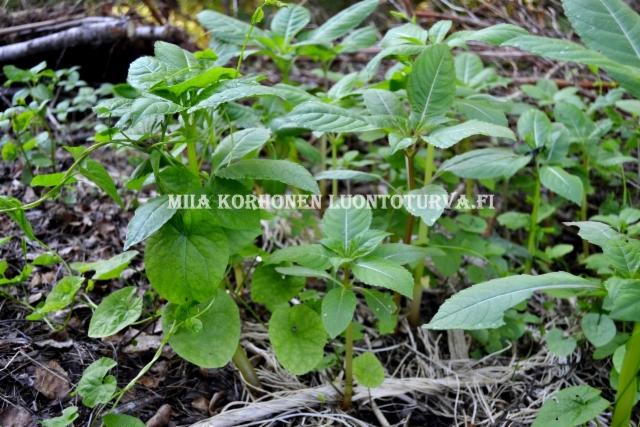 0613_puutarhajatekasasta_leviaa_karhunkoynnos_ja_jattipalsami_miia_korhonen_luontoturva.fi