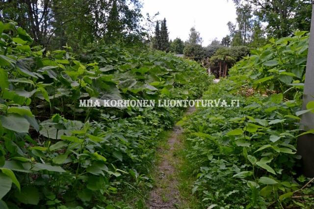 0614_royhytatar_ja_etelanruttojuuri_levinnyt_puutarhajatekasoista_miia_korhonen_luontoturva.fi