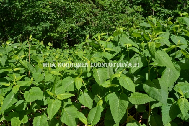 0614_royhytatar_levinneena_luontoon_viedyista_puutarhajatekasoista_miia_korhonen_luontoturva.fi