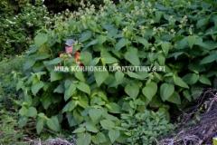 0618_luontoon_viedysta_puutarhajatteesta_alueella_leviaa_tataret_ja_jattipalsami_miia_korhonen_luontoturva.fi