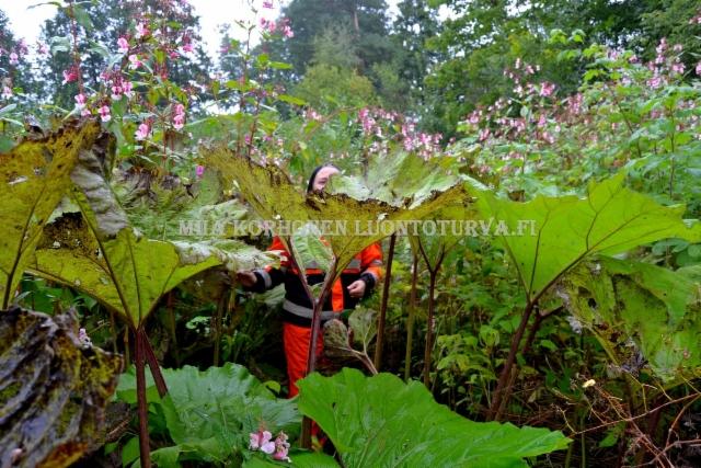 0619_puutarhajatteen_mukana_luontoon_levinneet_etelanruttojuuri_ja_jattipalsami_miia_korhonen_luontoturva.fi