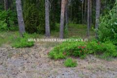 0630_kurtturuusu_leviaa_metsaisillakin_alueilla_miia_korhonen_luontoturva.fi