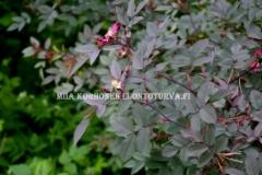 0632_punalehtiruusu_leviaa_siemenesta_lintujen_levittamana_miia_korhonen_luontoturva.fi
