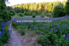 0634_lupiini_leviaa_tehokkaasti_siemenesta_miia_korhonen_luontoturva.fi
