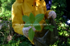 0636_jattipalsamin_kitkenta_sopii_lastenkin_kanssa_tehtavaksi_miia_korhonen_luontoturva.fi
