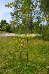 0641_idanukonputki_miia_korhonen_luontoturva.fi