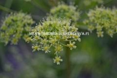 0643_ukonputkissa_on_monta_ala-lajia_ja_muunnosta_miia_korhonen_luontoturva.fi
