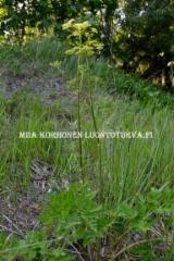 0645_idanukonputki_on_yleinen_putkilokasvi_luonnossa_miia_korhonen_luontoturva.fi