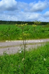 0650_idanukonputki_on_yleinen_putkilokasvi_luonnossa_miia_korhonen_luontoturva.fi