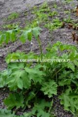 0652_ukonputki_miia_korhonen_luontoturva.fi
