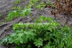 0653_ukonputkia_esiintyy_yleisesti_suomen_luonnossa_miia_korhonen_luontoturva.fi