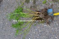0663_kaiva_myrkkykeiso_juurineen_pois_ala_katkaise_juurta_miia_korhonen_luontoturva.fi