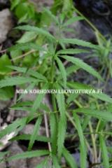 0664_myrkkykeison_lehti_miia_korhonen_luontoturva.fi