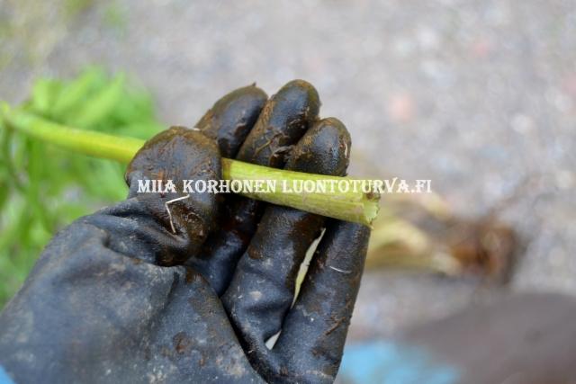 0667_myrkkykeison_varsi_on_silea_ja_ontto_miia_korhonen_luontoturva.fi